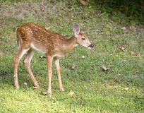 Lonely fawn Stock Images