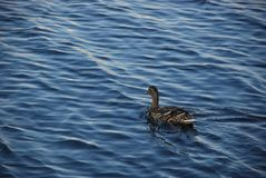 Lonely female duck in the blue water royalty free stock images