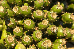 Lonely fig. Bunch of the opuntia fruts, the most commonly usede for culinary purposes. Prickly pears are also known as tuna, nopal or nopales Stock Photos