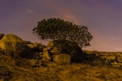 Lonely fig tree under moonlight Stock Image