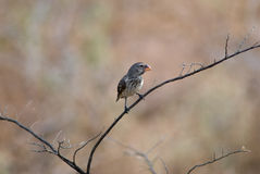 Medium ground finch bird Royalty Free Stock Photography