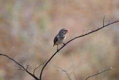 Medium ground finch bird Royalty Free Stock Photography