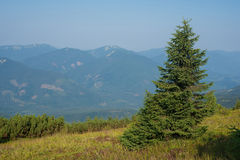 Lonely fir Royalty Free Stock Photos