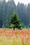 Lonely fir Stock Photography