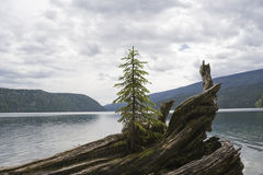 Lonely fir tree on driftwood stock image