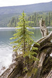 Lonely fir tree on driftwood Royalty Free Stock Photos