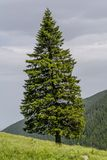 Lonely fir tree on the edge of slope in in the mountains Royalty Free Stock Photography