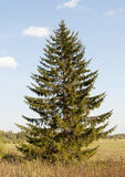 Lonely fir tree Royalty Free Stock Image