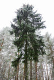 Lonely fir-tree. In the winter pine forest Stock Image