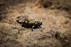 Lonely fire salamander near waterfall... stock image
