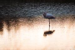 Lonely flamingo Stock Photos