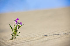 Lonely Flower. In sand dunes. Curonian Spit, Russia stock photography