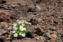 Lonely flower in arid desert. Royalty Free Stock Image