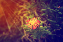 Free Lonely Flower At Sunris ,Abstarct Hope Background Royalty Free Stock Image - 95280066