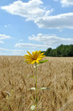 The lonely flower in a field of wheat Stock Images
