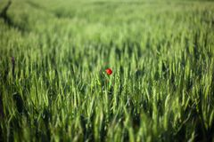 Lonely flower poppies in wheat field stock photo