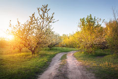 Lonely flowering fruit trees in the garden with road Royalty Free Stock Photo