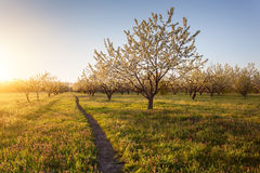 Lonely flowering fruit trees in the garden at sunset Royalty Free Stock Photo