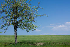 Lonely flowering tree in green field Royalty Free Stock Photos