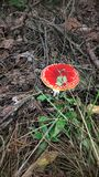 Lonely fly agaric in the autumn forest. A lonely fly agaric in the autumn forest hid in sprigs and dry grass in the city of Rumia in Poland royalty free stock photography