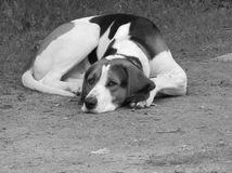 Lonely Fox Hound Royalty Free Stock Photo