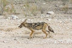 Lonely fox in steppe of Etosha Park, Namibia royalty free stock photo