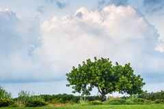Lonely fresh green tree Royalty Free Stock Photo