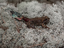 Lonely frog lies on a white moss while her foot in the mouth hungry snake Royalty Free Stock Photos