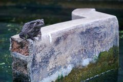 Lonely Frog in The Pond. A Lonely Frog is Sitting in The Pond Stock Images