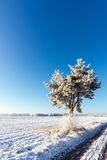 Lonely frosted pine next to snowy meadow with clear blue sky Stock Images
