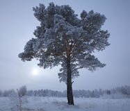 Lonely frosted pine Royalty Free Stock Image