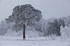 Lonely frosted pine 2 Royalty Free Stock Photography