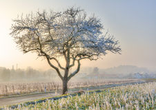 Lonely frosted tree in a foggy winter landscape Royalty Free Stock Image