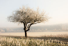 Lonely frosted tree in a foggy winter landscape Royalty Free Stock Photography