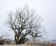 Lonely frosted tree in a foggy winter landscape Stock Images