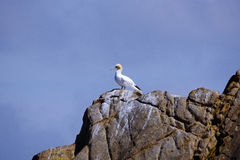 Lonely gannet. A lonely gannet facing the sea stock image