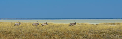 Lonely Gemsbok Stock Photography