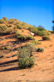 Lonely Gemsbok. A single gemsbok standing on a dune in the kgalagadi transfrontier park, feeding on the bush Stock Photo