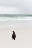 Lonely gentoo penguin Stock Images