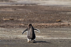 Lonely Gentoo penguin Royalty Free Stock Image