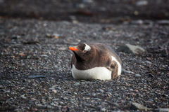 Lonely Gentoo Penguin lying onto the beach, Antarctica Royalty Free Stock Images
