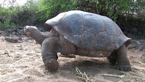 Lonely George is world famous tortoise turtle 400 years old in Galapagos. Amazing reptiles. Wildlife animals. Nature of Ecuador. Herbivorous inhabitants of stock video footage