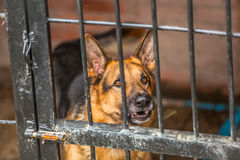Lonely german shepherd - military dog at shelter Royalty Free Stock Photography