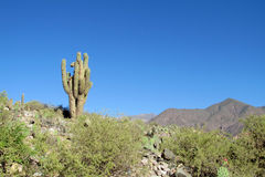 Lonely giant cactus stock photos