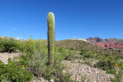 Lonely giant cactus stock photography