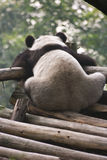 Lonely Giant Panda Stock Photo