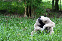 Lonely Gibbon Stock Images