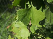 A lonely ginkgo biloba leave stock image