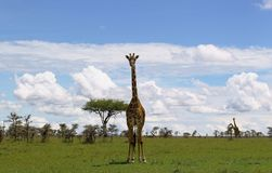 Lonely giraffe Royalty Free Stock Photography