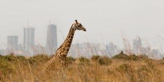Lonely giraffe with nairobi on the background. Lonely giraffe with the city of nairobi on the background, nairobi national park, kenya Royalty Free Stock Photography